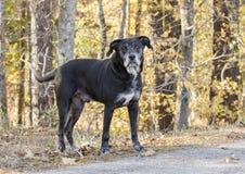 Chien noir supérieur de labrador retriever avec le museau gris Photos libres de droits