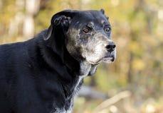 Chien noir supérieur de labrador retriever avec le museau gris Image libre de droits
