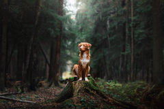 Chien Nova Scotia Duck Tolling Retriever photos libres de droits