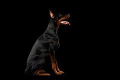 Chien obéissant de Pinscher de dobermann se reposant et recherchant, noir d'isolement Image libre de droits