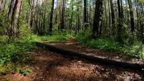 Chien ou une certaine bête fonctionnant le long du chemin forestier POV banque de vidéos
