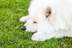 Chien pelucheux blanc de Samoyed sur une herbe verte Photographie stock