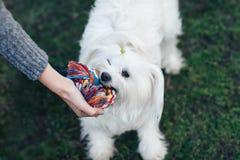 Chien pelucheux blanc jouant avec le jouet de corde de noeud sur l'herbe Images stock