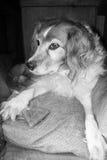 Chien pelucheux dans le chenil avec le biscuit de chien Image libre de droits
