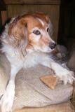 Chien pelucheux dans le chenil avec le biscuit de chien Photos libres de droits