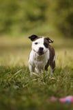 Chien pelucheux de bull-terrier du Staffordshire en parc Photos stock