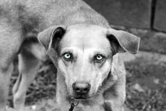 Chien philippin Images stock