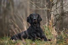 Chien plat-enduit noir de chien d'arrêt posant dehors en automne Image stock