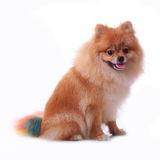 Chien pomeranian de Brown Photographie stock