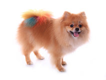 Chien pomeranian de Brown Photos libres de droits