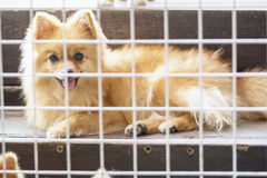Chien pomeranian de petit brun pitoyable de corps se reposant dans la cage Photos stock