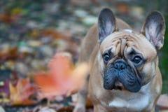Chien, portrait de bouledogue français d'un macro sur un fond d'automne Photographie stock