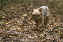 Chien, race Yorkshire Terrier fortement chargé photos libres de droits