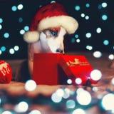 Chien regardant dans un boîte-cadeau Image libre de droits