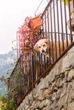 Chien regardant la barrière de cuvette dans Banyalbufar (Majorca) Photo stock