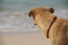 Chien regardant la plage Images stock