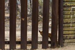 Chien regardant par la séparation de mur de frontière internationale Uni Photos libres de droits