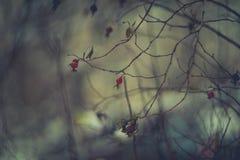 Chien-rose d'hiver Photographie stock libre de droits