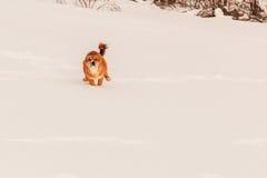 Chien rouge dans la neige Images libres de droits