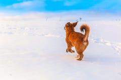 Chien rouge dans la neige Image stock
