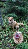 Chien rouge dans les bois gardant le panier photo libre de droits