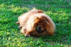 Chien rouge de bouffe de bouffe sur une herbe verte Image libre de droits