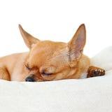 Chien rouge de chiwawa de sommeil d'isolement sur le fond blanc Images libres de droits
