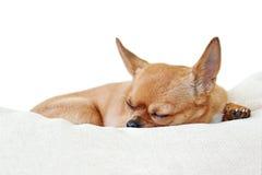 Chien rouge de chiwawa de sommeil d'isolement sur le fond blanc Photo stock