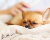 Chien rouge de chiwawa de sommeil sur le fond beige. Photo stock