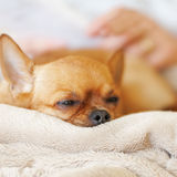 Chien rouge de chiwawa de sommeil sur le fond beige. Photographie stock