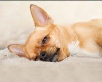 Chien rouge de chiwawa de sommeil sur le fond beige Image stock