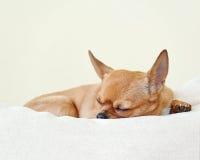 Chien rouge de chiwawa de sommeil sur le fond beige Photos libres de droits