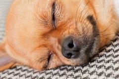Chien rouge de chiwawa de sommeil sur le fond de modèle de Shemagh Image stock