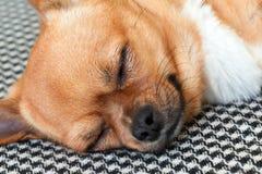 Chien rouge de chiwawa de sommeil sur le fond de modèle de Shemagh Images stock