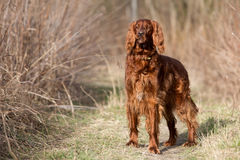 Chien rouge de poseur irlandais, chien pour une promenade Image stock