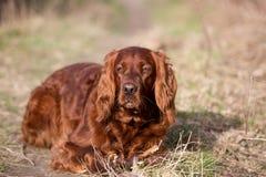 Chien rouge de poseur irlandais, chien pour une promenade Photographie stock libre de droits