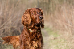 Chien rouge de poseur irlandais, chien pour une promenade Images stock