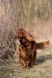 Chien rouge de poseur irlandais, chien pour une promenade Photo stock