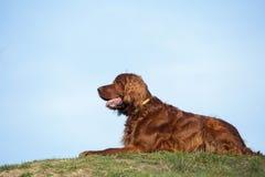 Chien rouge de poseur irlandais, chien pour une promenade Photos stock