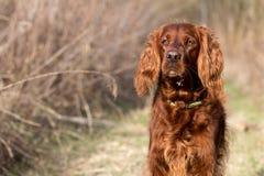 Chien rouge de poseur irlandais, chien pour une promenade Image libre de droits