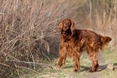 Chien rouge de poseur irlandais, chien pour une promenade Photographie stock