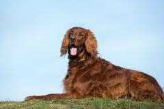 Chien rouge de poseur irlandais, chien pour une promenade Photos libres de droits