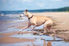 Chien rouge de whippet fonctionnant sur une plage Photographie stock libre de droits