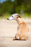 Chien rouge de whippet se couchant Photographie stock