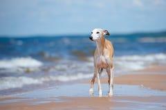 Chien rouge de whippet se tenant sur une plage Photographie stock