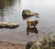 Chien rouge se tenant dans l'eau Photos stock