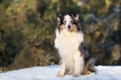 Chien rugueux de colley dehors en hiver Photographie stock libre de droits
