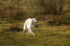 Chien russe de chien-loup fonctionnant dans le domaine image libre de droits