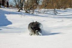 Chien russe noir hirsute de terrier fonctionnant dans la neige Photographie stock libre de droits