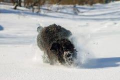Chien russe noir hirsute de terrier fonctionnant dans la neige Photos libres de droits